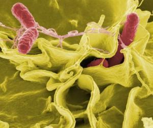 salmonella bacteria food large